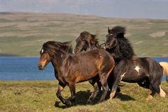 Icelandic Horse Royalty Free Stock Photos