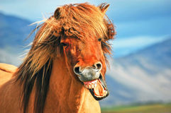 Free Icelandic Horse Stock Photo - 30492530