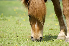 Icelandic-horse Royalty Free Stock Photo