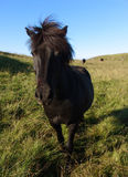 Icelandic horse. Portrait of black Icelandic horse in green countryside royalty free stock image