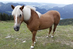 Icelandic horse in alps. The icelandic horse on the pasture in the austrian Alps Stock Photo