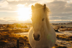 Icelandic Horse. An Icelandic horse bathed in golden light Royalty Free Stock Photography