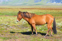 Icelandic Horse. Beautiful red Icelandic horse in the meadow Royalty Free Stock Photos