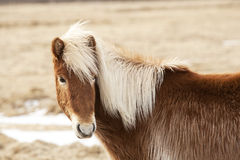 Icelandic horse with blone mane on a meadow Royalty Free Stock Image