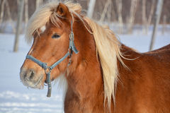 The Icelandic horse Royalty Free Stock Images