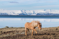 Icelandic Horse. The Icelandic horse is a breed of horse developed in Iceland. Although the horses are small, at times pony sized, most registries for the Royalty Free Stock Photo