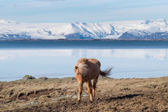 Icelandic Horse. The Icelandic horse is a breed of horse developed in Iceland. Although the horses are small, at times pony sized, most registries for the Royalty Free Stock Photography