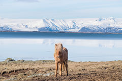 Icelandic Horse. The Icelandic horse is a breed of horse developed in Iceland. Although the horses are small, at times pony sized, most registries for the Stock Photo