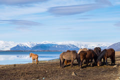 Icelandic Horse. The Icelandic horse is a breed of horse developed in Iceland. Although the horses are small, at times pony sized, most registries for the Stock Photos
