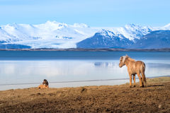 Icelandic Horse. The Icelandic horse is a breed of horse developed in Iceland. Although the horses are small, at times pony sized, most registries for the Royalty Free Stock Photos
