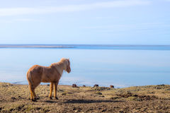 Icelandic Horse. The Icelandic horse is a breed of horse developed in Iceland. Although the horses are small, at times pony sized, most registries for the Royalty Free Stock Images