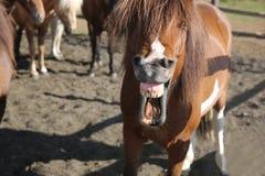 Icelandic Horse Royalty Free Stock Photo