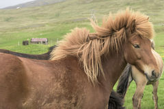 Icelandic Horse. Brown icelandic horse standing in storm Stock Photo
