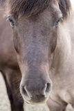 Icelandic Horse. Close-up of head Stock Photo