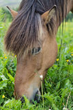 Icelandic Horse. Close-up of head Stock Image