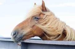 Icelandic horse close up Royalty Free Stock Photos