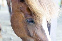 Icelandic horse close up Stock Photo