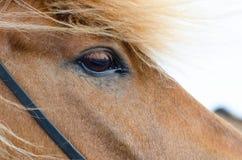 Icelandic horse close up Royalty Free Stock Image