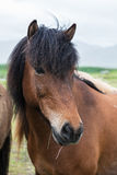 Icelandic horse close-up Royalty Free Stock Images