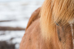 Icelandic Horse , close up shot of the side of horse Royalty Free Stock Photography