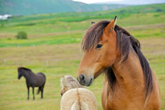 Icelandic Horse. Closeup on the head of Icelandic horse Iceland Royalty Free Stock Images