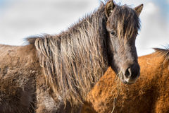 Icelandic horse. An Icelandic horse eating hay Royalty Free Stock Images