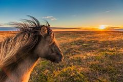 Icelandic horse enjoys a sunset. An Icelandic Horse enjoys the sunset on an autumn evening somewhere on the Snaefellsnes peninsula royalty free stock photos