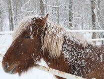 Icelandic Horse (Equus ferus caballus), winter. Icelandic Horse (Equus ferus caballus) covered in snow and ice Royalty Free Stock Photo
