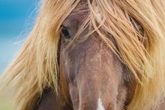 Free Icelandic Horse Eyes And Hair. Stock Images - 164449664