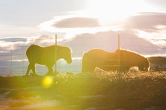 Icelandic Horse family with lens flare royalty free stock photography