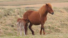 Horse feeding its offspring. Icelandic horse feeding it`s baby stock footage