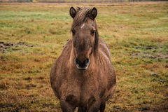 Icelandic Horse. In the fields of Iceland Stock Photo