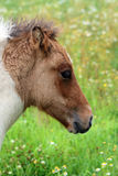 Icelandic horse foal Royalty Free Stock Photos