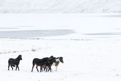 Icelandic Horse. Four Icelandic Horses walking in a blizzard Royalty Free Stock Photos