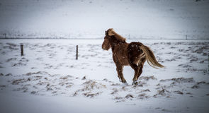 Icelandic horse galloping under the snow Royalty Free Stock Image