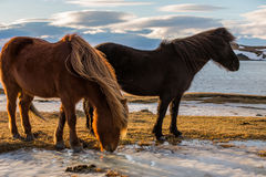 Icelandic Horse at golden sunset Royalty Free Stock Photography