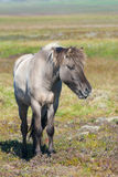 Icelandic Horse. Gray icelandic horse standing on the grass Royalty Free Stock Photography