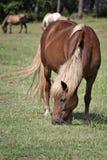Icelandic horse grazing. Beautiful brown Icelandic Horse grazing in green pasture Royalty Free Stock Photo