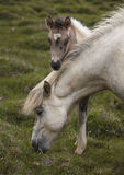 Icelandic horse grazing and colt Stock Photo