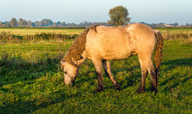 Icelandic horse grazing in late afternoon sunlight Stock Images