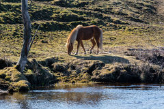 Icelandic Horse grazing royalty free stock photography