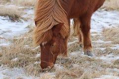 Icelandic horse grazing Royalty Free Stock Photos