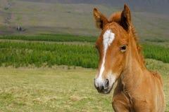 Icelandic horse Royalty Free Stock Images