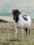 Icelandic horse Stock Image