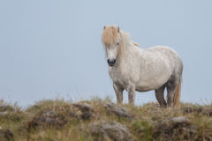 Icelandic horse Stock Photos