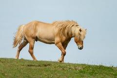 Icelandic horse Royalty Free Stock Photos
