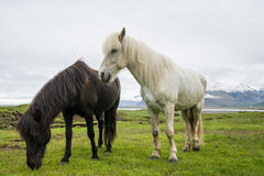 Icelandic horse and green landscape Royalty Free Stock Photos