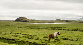 Icelandic horse and green landscape Stock Images