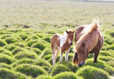 Icelandic horse with her colt Stock Photography