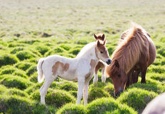 Icelandic horse with her colt. Iceland, Europe Royalty Free Stock Images